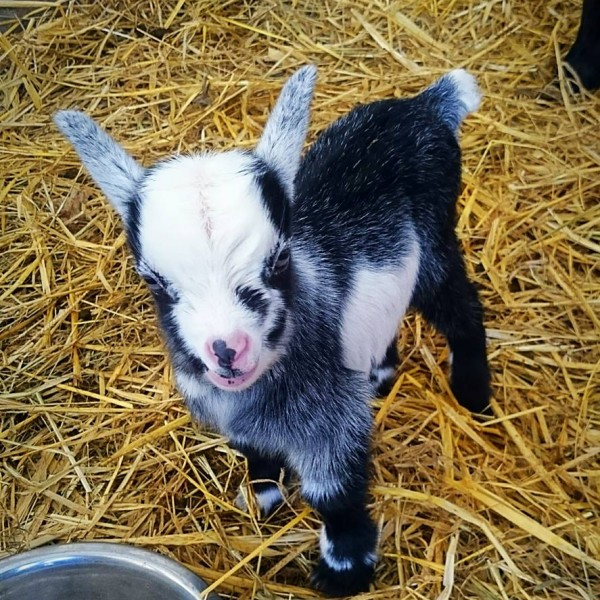 Pygmy Goats Available Now Wynnes Of Dinmore
