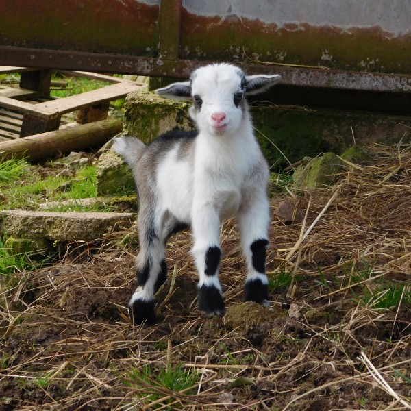 Pygmy Goats Available Now - Wynnes of Dinmore