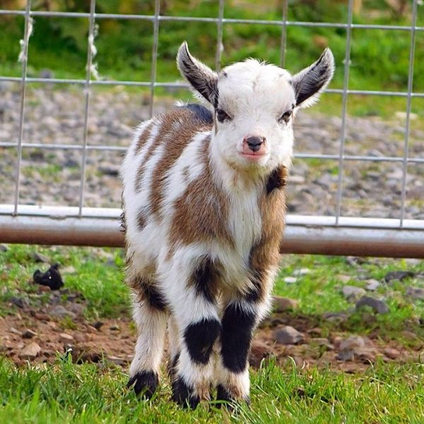 Pygmy Goats Available ...