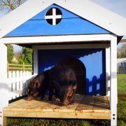 micro-pig-porch