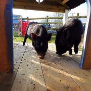 pet-pigs-in-their-house
