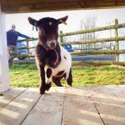 pygmy-goat-porch