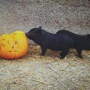 halloween-pig