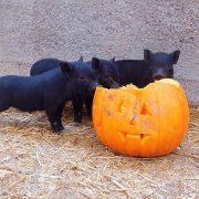 pumpkin-pigs-wynnes-of-dinmore