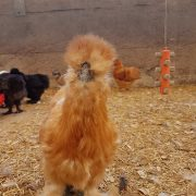 silkie ginger